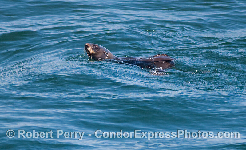 A Northern Fur Seal (Callorhinus ursinus) is intrigued by all the whale activity.