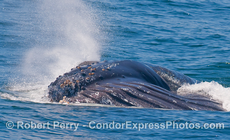 Water pours out of through the baleen as this feeding Humpback Whale sends out a big spout spray from its twin blow holes.