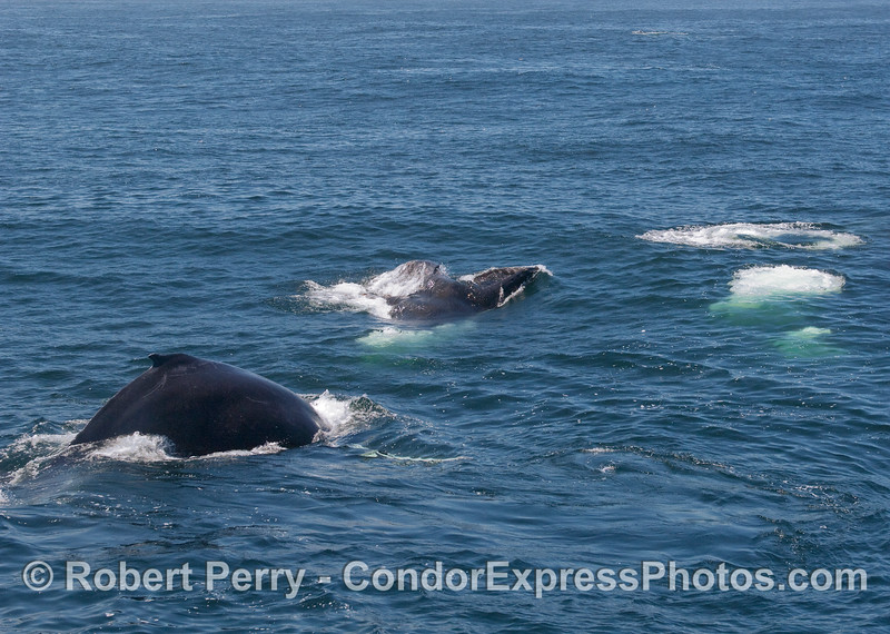 More feeding Humpback Whales.