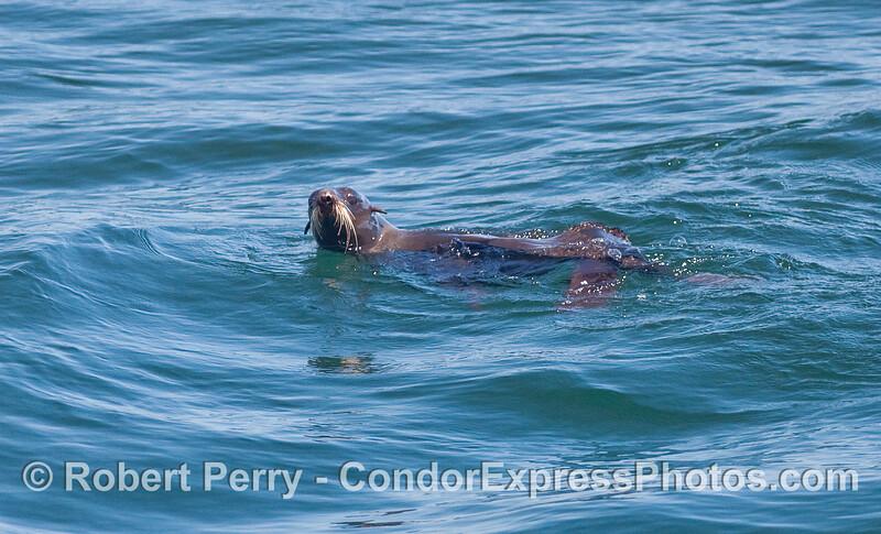 Looking at the camera - Northern Fur Seal (Callorhinus ursinus).