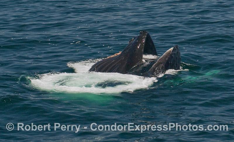 Humpback Whale lunge feeding.