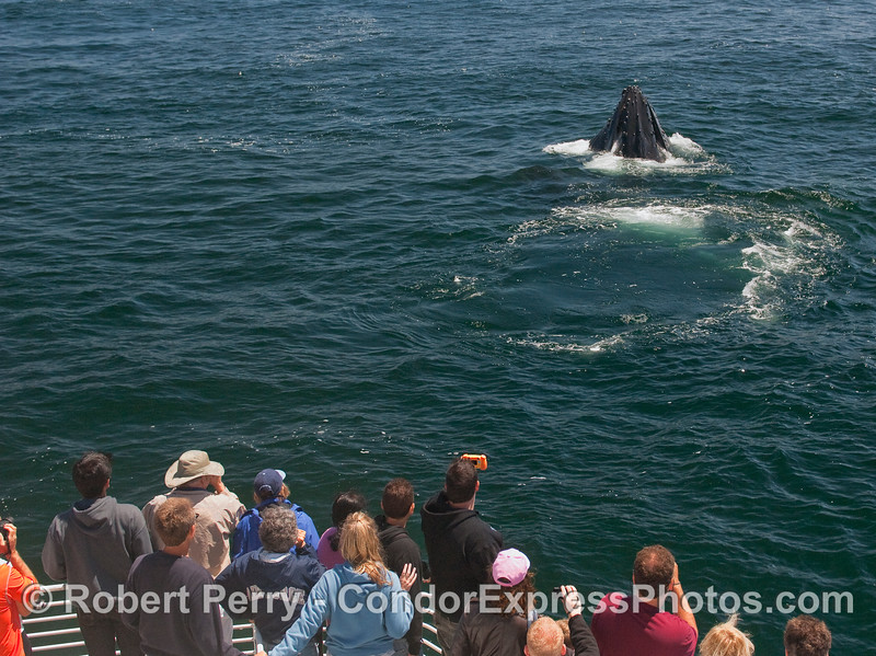 Whalers on board the Condor Express get a great look at a vertically lunge feeding Humpback Whale.