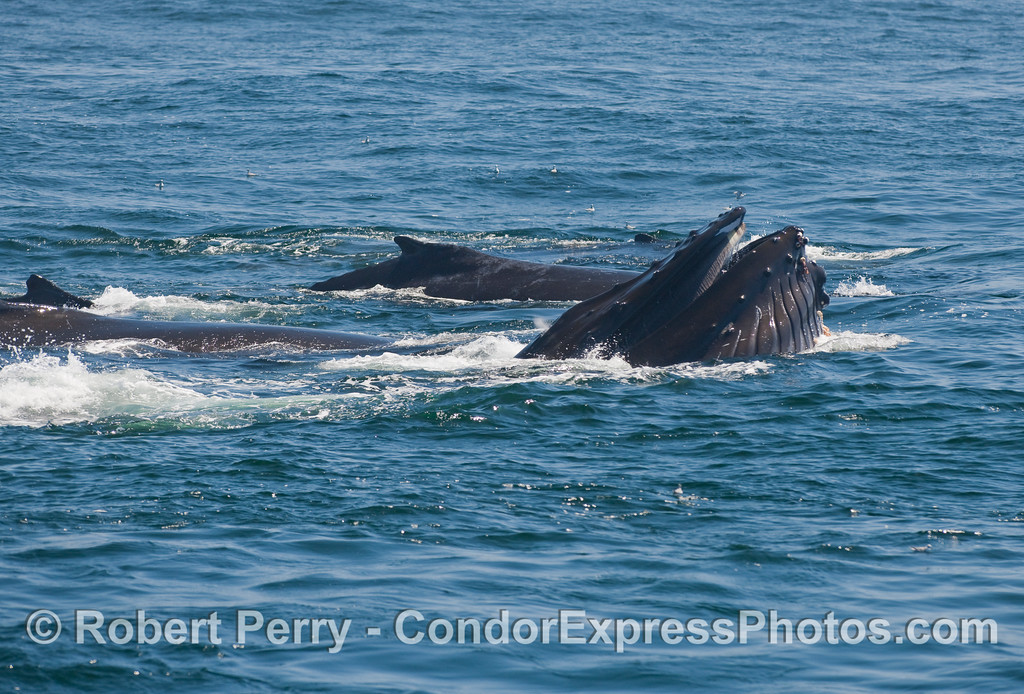 Four Humpback Whales, one is captured in the midst of a vertical lunge.  The ventral groove blubber is expanded and the tips of the baleen are stil visible as this whale closes its mouth around water and prey.