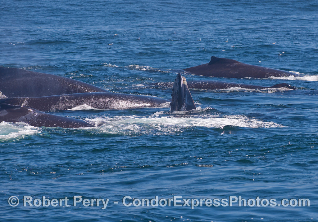 Six Humpback Whale and one feeding vertically with its upper jaw out of the water.