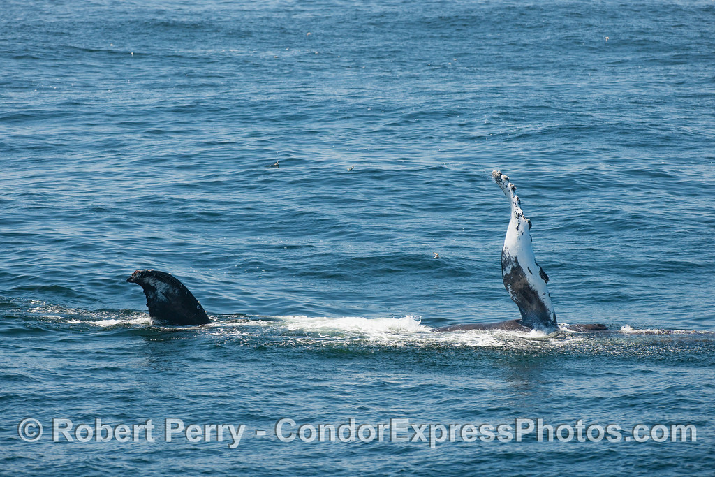 A Humpback Whale is shown laying on its left side with the tip of its tail fluke and right pectoral fin up in the air.  This is the first of two images of this Humpback slapping its long pectoral fin on the water.