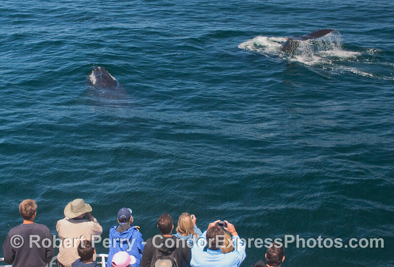 Two Humpback Whales put on a show for the whalers on the Condor Express.