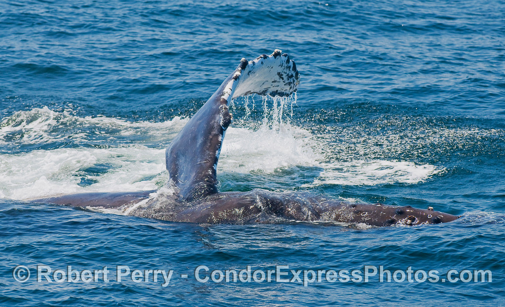 This is the second of two images of a Humpback slapping its long pectoral fin on the water.  The beast is on its right side, the head is on the right, and the left pectoral fin is causing a big comotion.