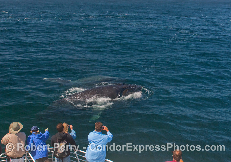 Two more Humpback Whales very close to the boat.
