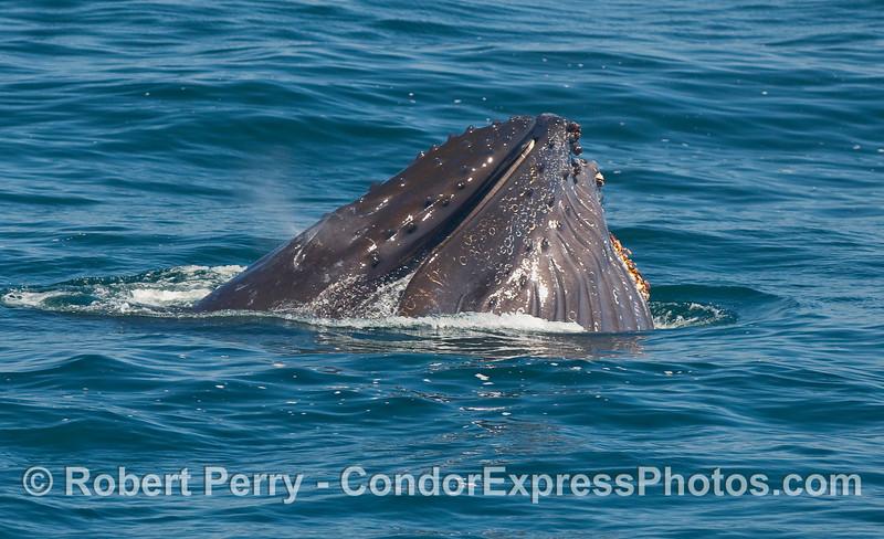 A lunge feeding Humpback Whale.