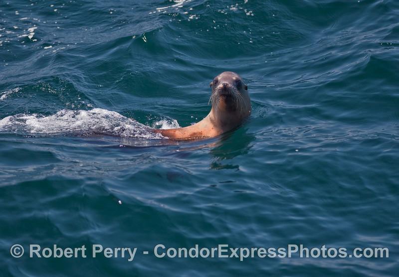 A friendly California Sea Lion (Zalophus californianus).