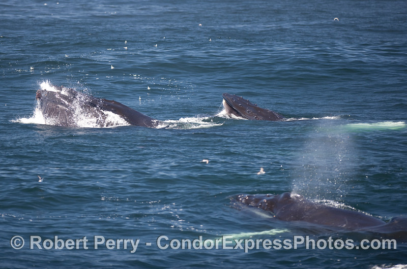 Two up, one underwater...feeding Humpback Whales.  Image 2 of 2.