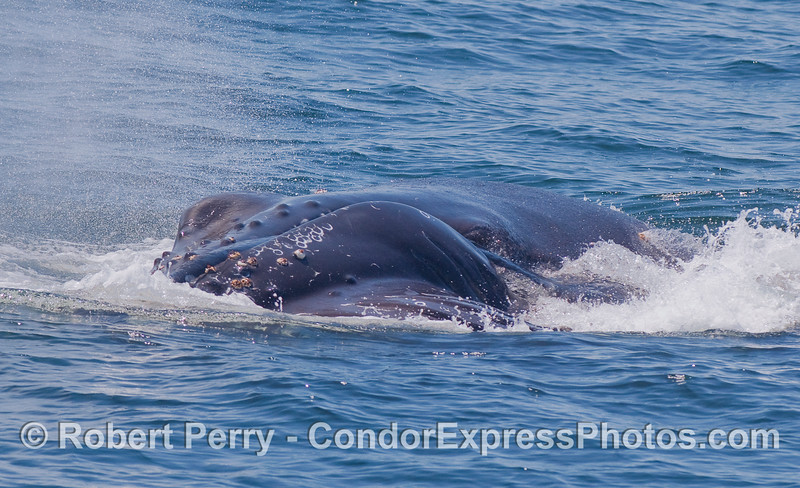 Water pours out of through the baleen as this feeding Humpback Whale completes a vertical lunge.  The left eyeball can be seen.