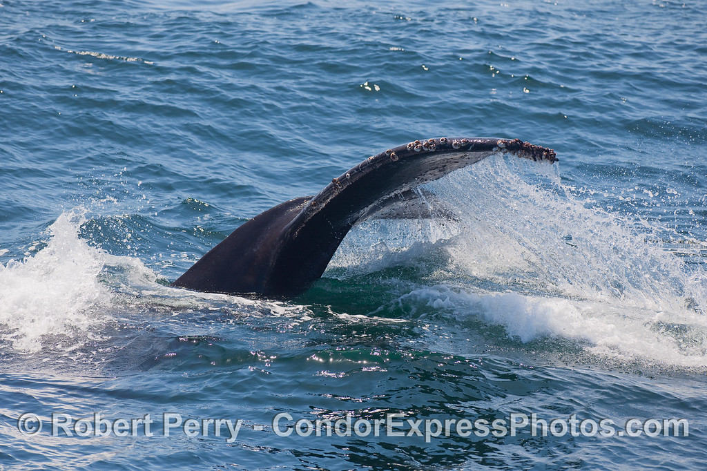 Humpback Whale tail fluke waterfall.