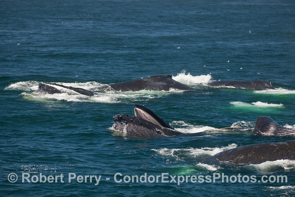 Masses of surface lunge feeding Humpback Whales.  It was not a great day to be a krill.