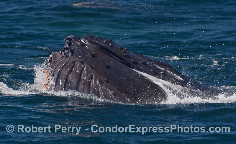 Water pours out of through the baleen as this feeding Humpback Whale completes a vertical lunge.