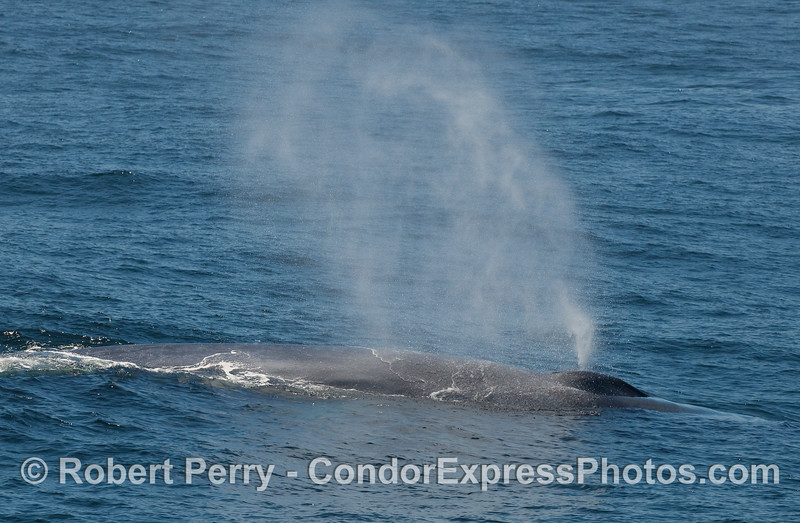 A Blue Whale passes very close to the Condor Express and sends up a tall plume of spray.