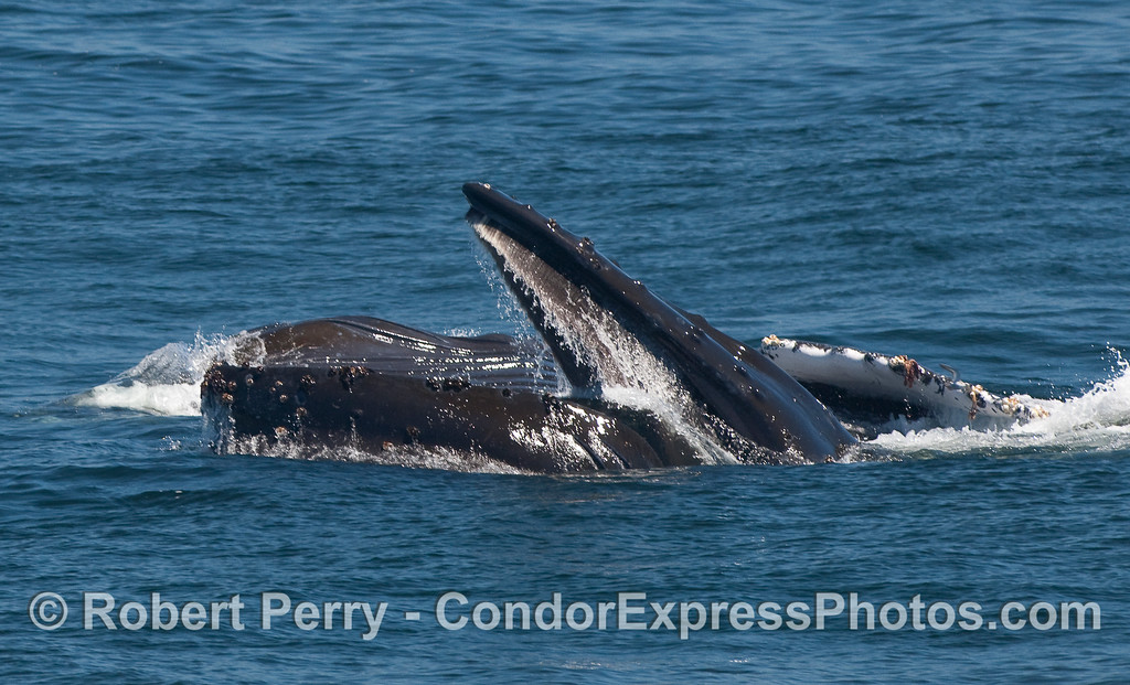 Two surface lunge feeding Humpback Whales, side by side.