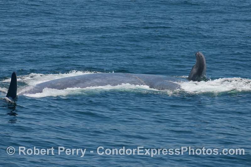 A giant Blue Whale in the act of feeding.  The beast is laying on its left side with its right pectoral fin and right tail fluke held vertically.  The expanded ventral grooves can be seen to the right.