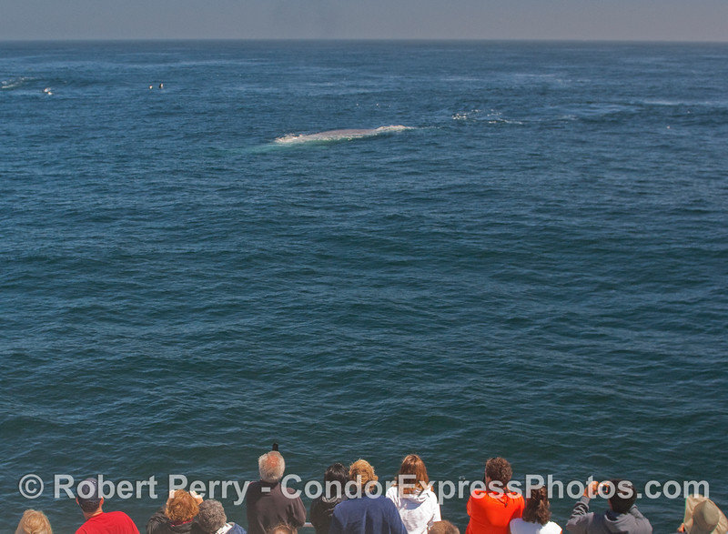 Whalers on board the Condor Express get a great look at a giant Blue Whale.