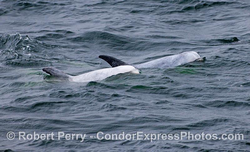 A pair of Risso's Dolphins (Grampus griseus).