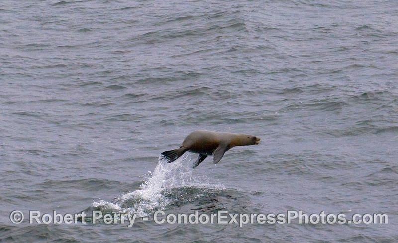 A California Sea Lion (Zalophus californianus) shows off near the Condor Express.