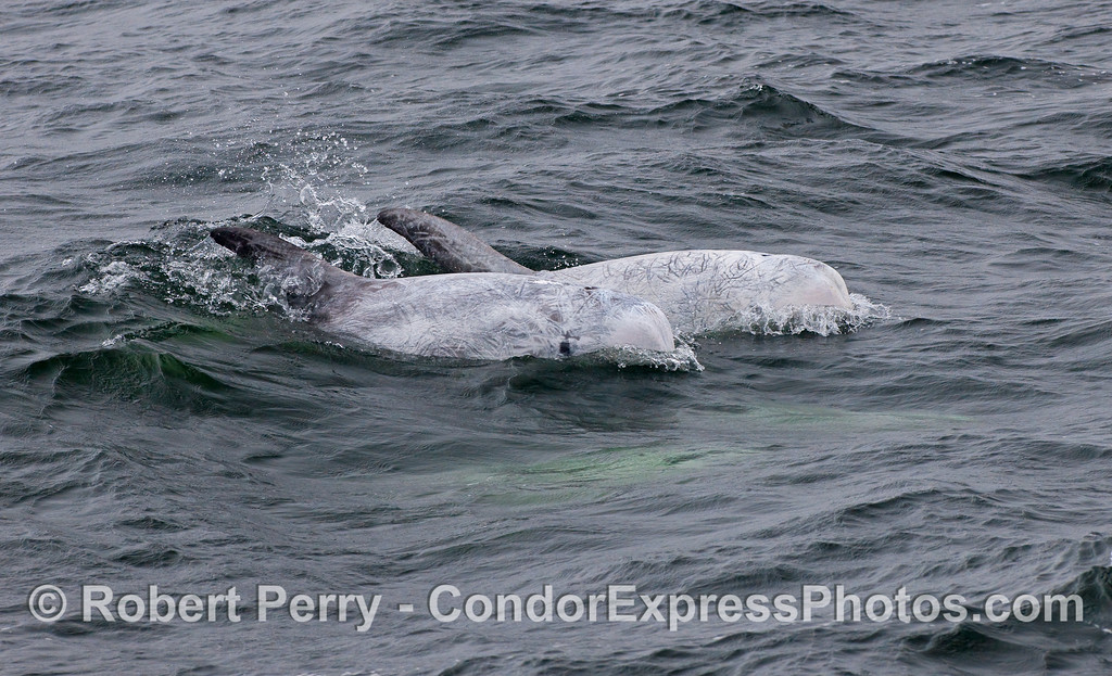 Two Risso's Dolphins (Grampus griseus).