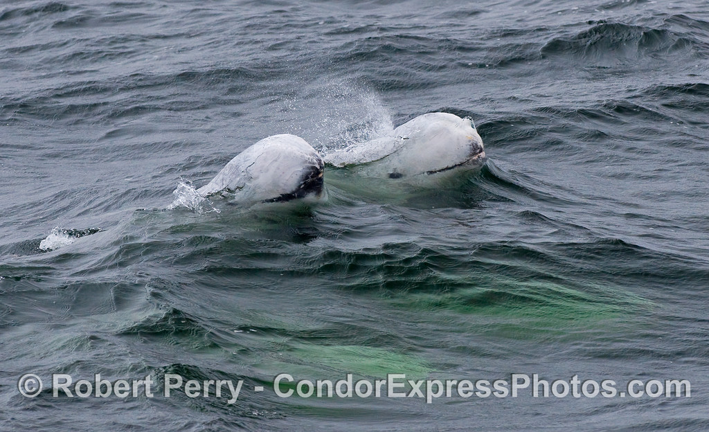 Two spouting Risso's Dolphins (Grampus griseus), and more below the surface glowing green.