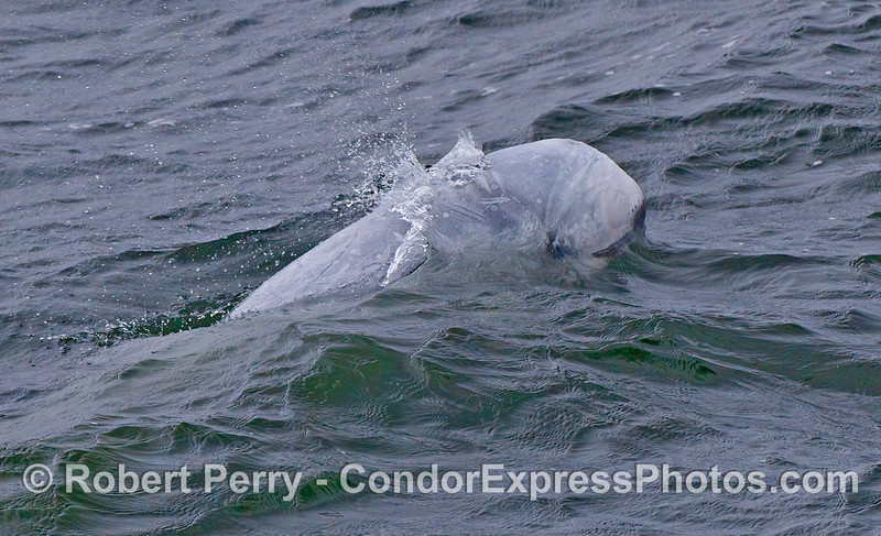 The smiling face of a Risso's Dolphin (Grampus griseus) breaks a wave.