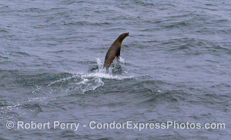 A California Sea Lion (Zalophus californianus) shows off near the Condor Express.