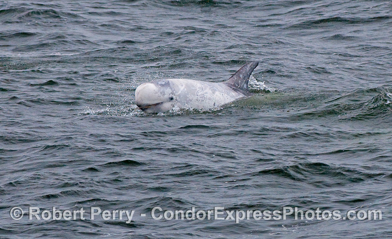Another smiling Risso's Dolphin (Grampus griseus).