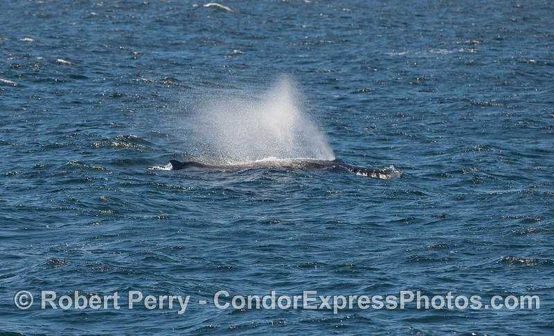 A spouting Humpback Whale.
