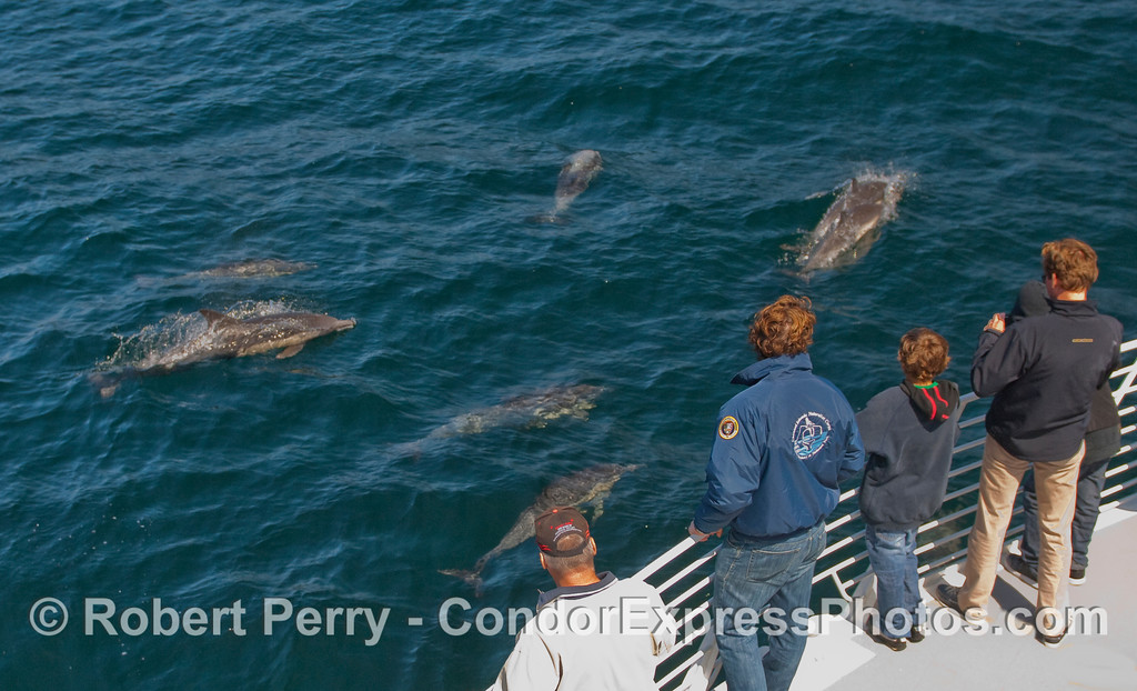 Whalers on the Condor Express get a close look at some friendly Common Dolphins.