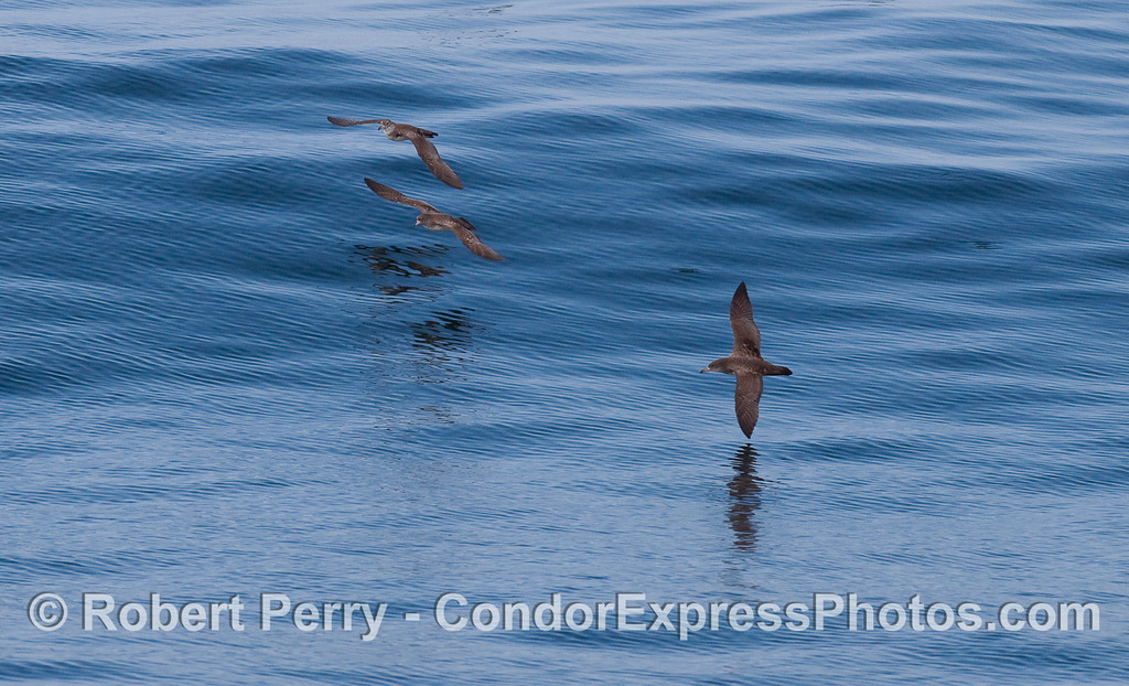 Sooty Shearwaters (Puffinus griseus).
