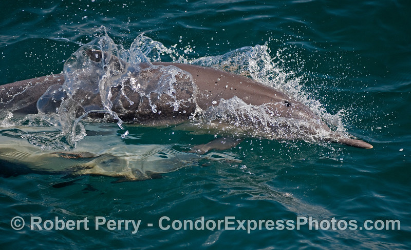 More mating Common Dolphins.