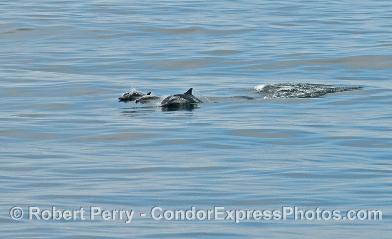 Common Dolphins on a glassy ocean surface.