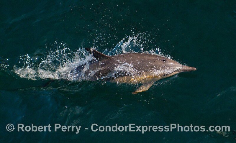 Common Dolphin at high speed.