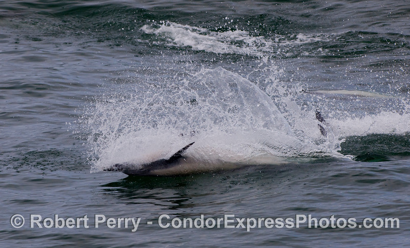 A great burst of speed by an upside-down feeding Common Dolphin.