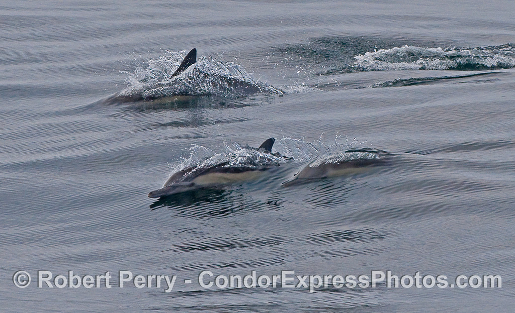 Common Dolphins in morning light.