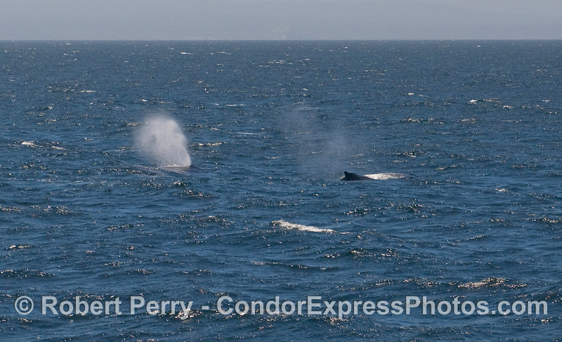 Two Humpback Whales.