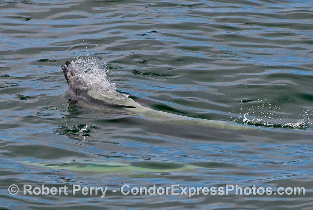 More upside down feeding by Common Dolphins.