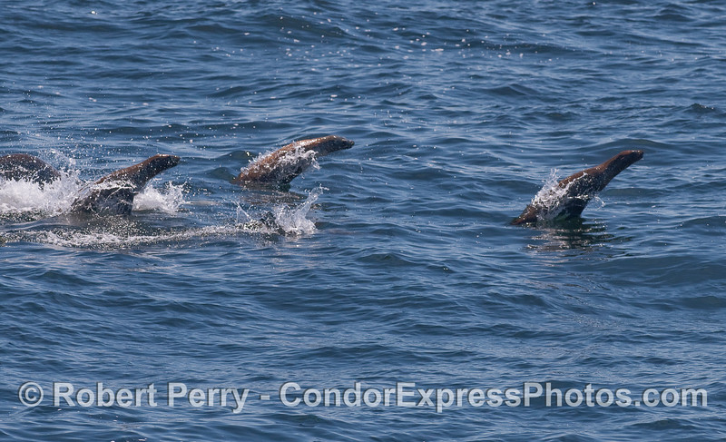 Three California Sea Lions (Zalophus californianus) take off out of the water during a high speed run.
