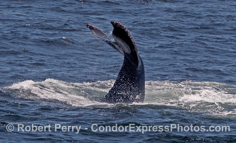 A Humpback Whale tail gets ready to slam against the water.