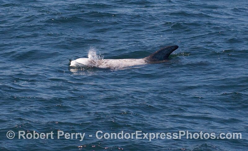 A Risso's Dolphin (Grampus griseus).