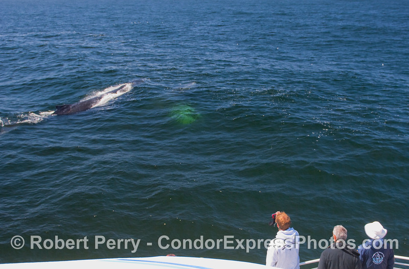 Two Humpback Whales, one still underwater, take a close look at the whalers on board the Condor Express.