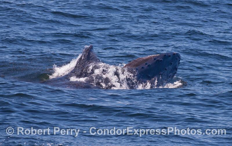 Humpback Whale surface feeding.