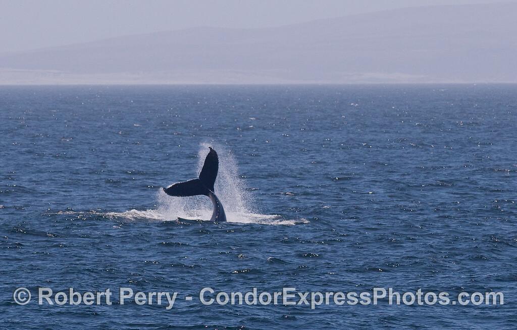 Humpback Whale lobtailing.