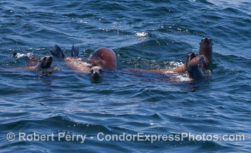 Six California Sea Lions (Zalophus californianus).