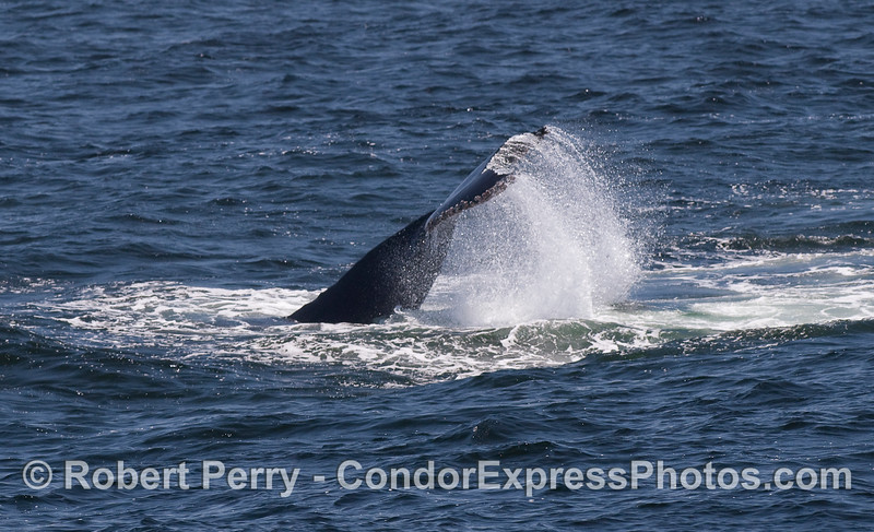 A Humpback Whale throws its tail around making a big comotion.