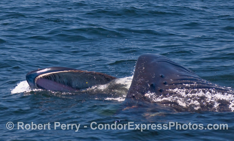 The pink, hard palate inside the upper mouth and abundant baleen is shown as this Humpback Whale lunges on the surface to capture krill.