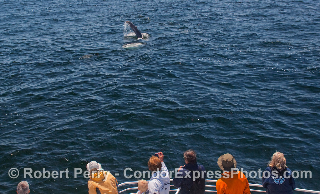 A Humpback Whale shows the whalers on board the Condor Express its pectoral fin.
